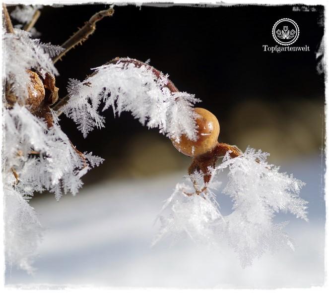Gartenblog Topfgartenwelt Raureif: Hagebutte Eiskristalle Winter Frost im Garten