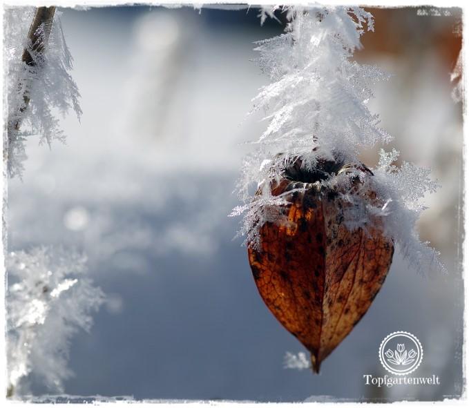 Gartenblog Topfgartenwelt Raureif: Lampionblume Nahaufnahme Frost Winter Garten