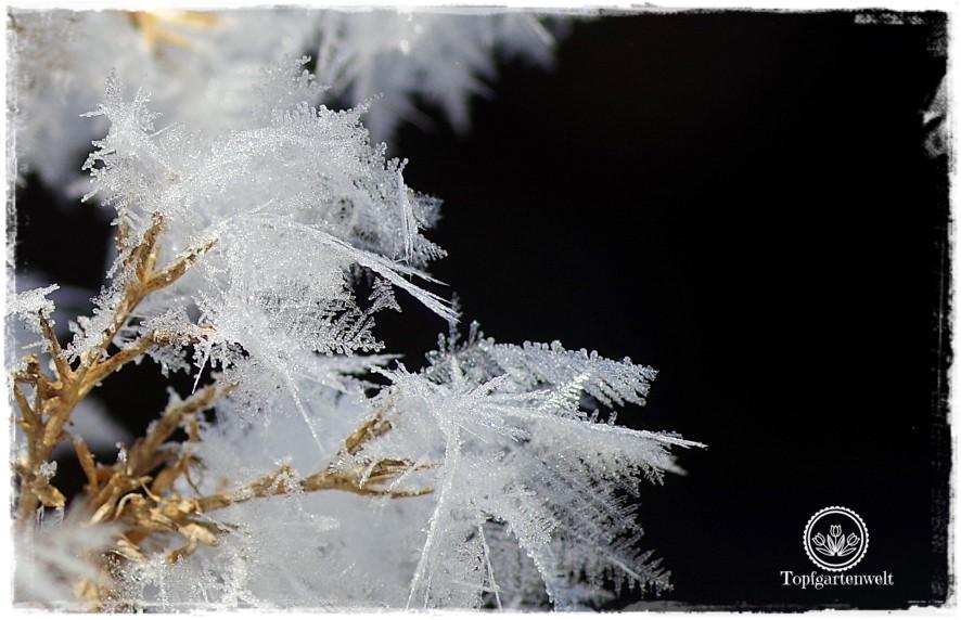 Gartenblog Topfgartenwelt Raureif: Phlox Samenstand Eiskristalle Frost Winter Kälte