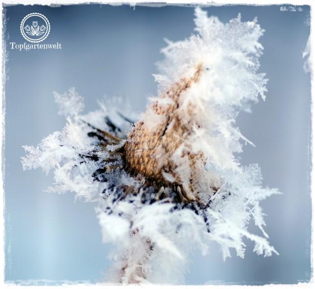 Gartenblog Topfgartenwelt Raureif: Sonnenhut Samenstand Winter Frost Kälte