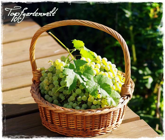 Gartenblog Topfgartenwelt Weintrauben: Erntekorb im Herbst - aus den Früchten wird Marmelade