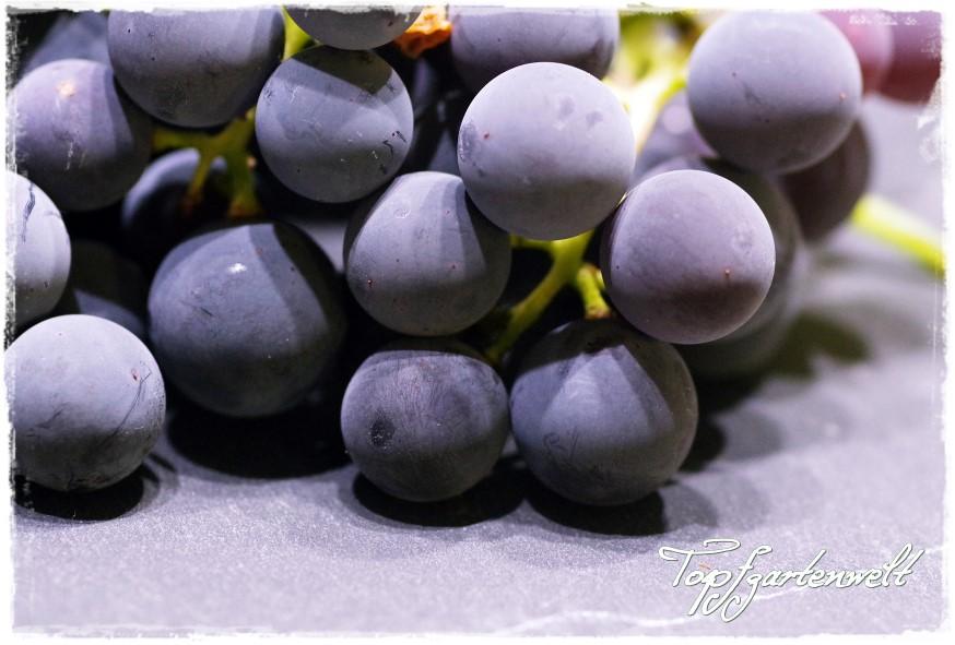 Gartenblog Topfgartenwelt Weintrauben: Isabellatrauben für Weintraubengelee