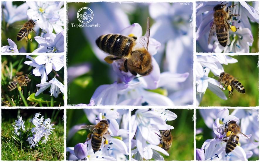 Gartenblog Topfgartenwelt Insekten: Biene auf Blausternchen, Biene im Anflug