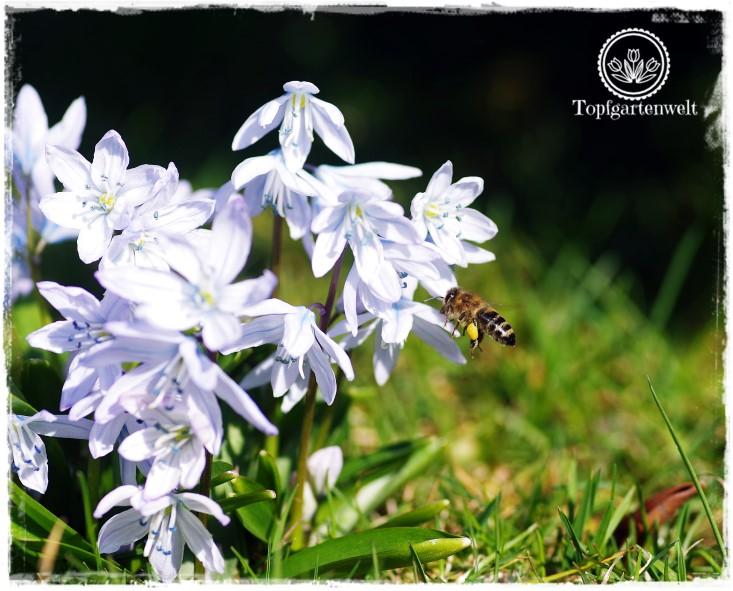 Gartenblog Topfgartenwelt Insekten: fliegende Biene, Blausternchen Biene im Anflug