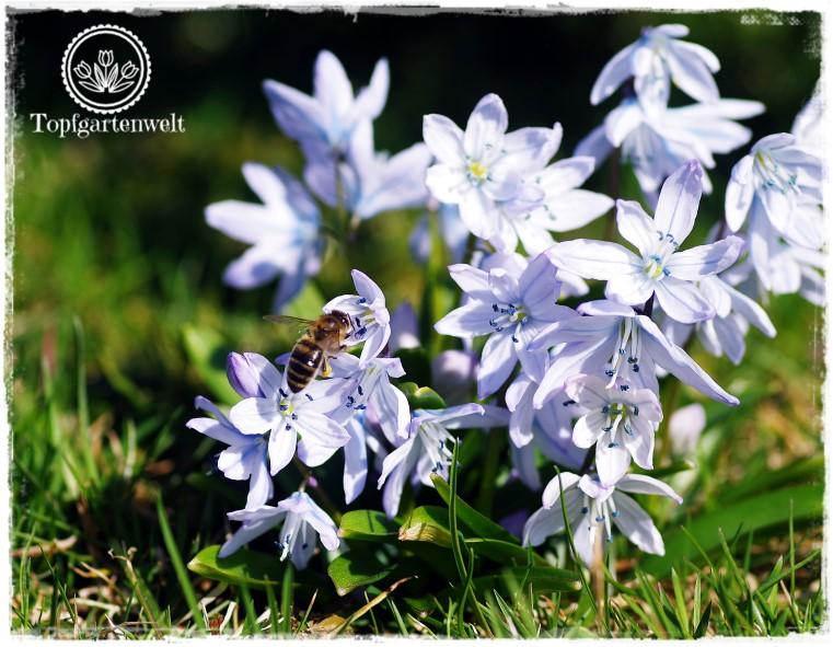 Gartenblog Topfgartenwelt Insekten: Biene auf Blausternchen
