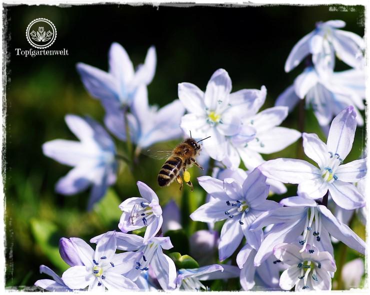 Topfgartenwelt Gartenblog Insekten: fliegende Biene, Biene im Anflug Blausternchen