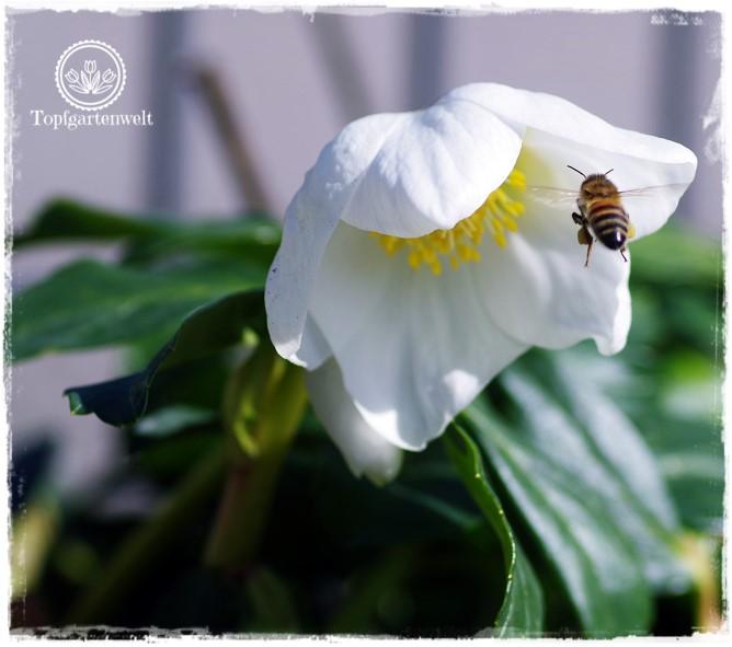 Gartenblog Topfgartenwelt Insekten: fliegende Biene, Biene im Anflug Schneerose Christrose