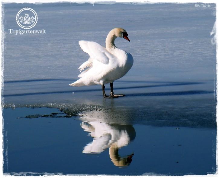 Gartenblog Topfgartenwelt Wallersee: auf dem Eis stehender Schwan spiegelt sich am Wasser