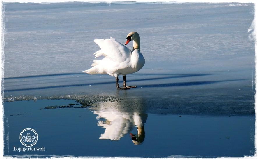 Gartenblog Topfgartenwelt Wallersee: Schwan sonnt sich auf Eisscholle - Spiegelung