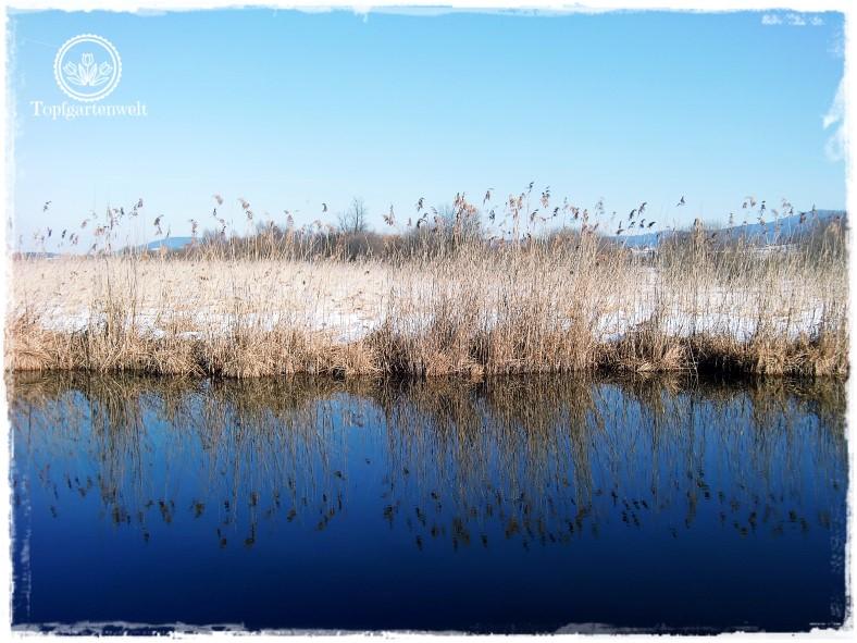 Gartenblog Topfgartenwelt Wallersee: Schilf spiegelt sich im Wasser