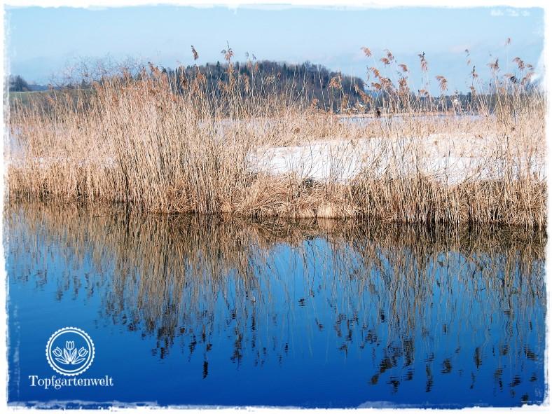Gartenblog Topfgartenwelt Wallersee: Schilf spiegelt auf der Wasseroberfläche