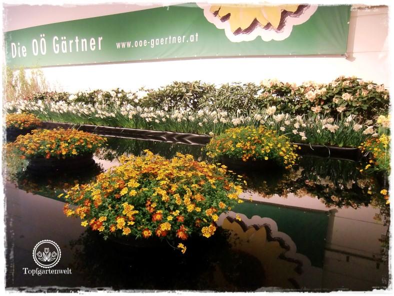 Gartenblog Topfgartenwelt Gartenmesse Blühendes Österreich 2017: Schaugarten mit Balkonblume des Jahres Feuriger Franzl Bidens