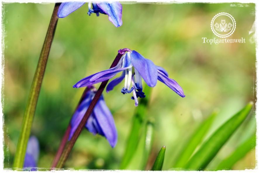 Gartenblog Topfgartenwelt Frühling Frühlingsgarten: Blausternchen, Gartenmesse Garten Stuttgart