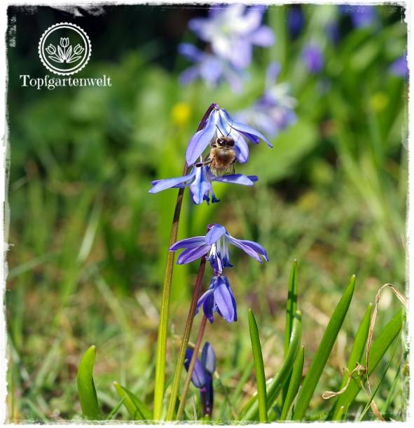 Gartenblog Topfgartenwelt Frühling Frühlingsgarten: Blausternchen mit Biene