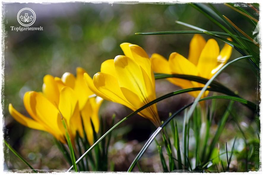 Gartenblog Topfgartenwelt Frühlingsgarten Frühling Zwiebelblumen: Krokuss gelb, Gewinnspiel Garten Stuttgart