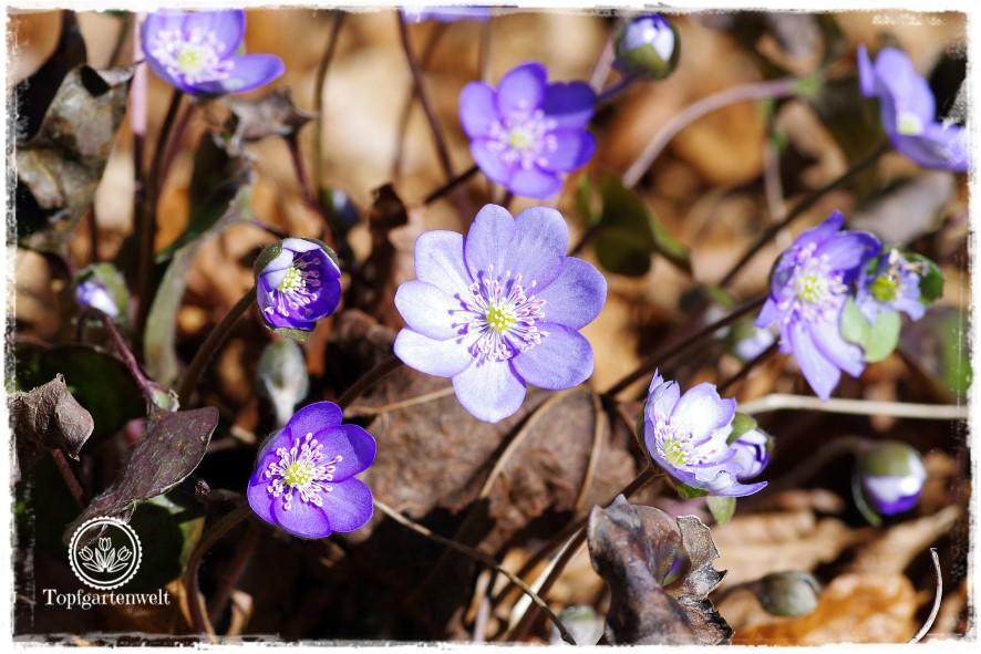Gartenblog Topfgartenwelt Frühling Frühlingsgarten: Leberblümchen mit Buchenlaub