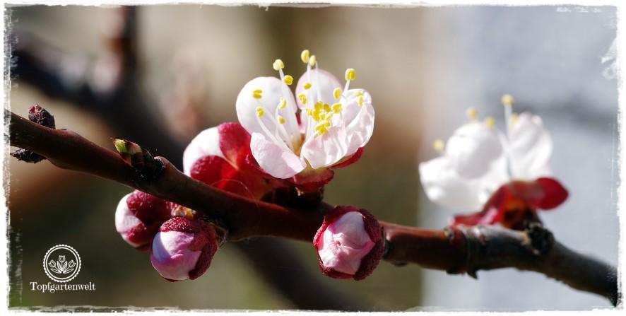 Gartenblog Topfgartenwelt Obstbaumblüte Frühlingsgarten: Marille
