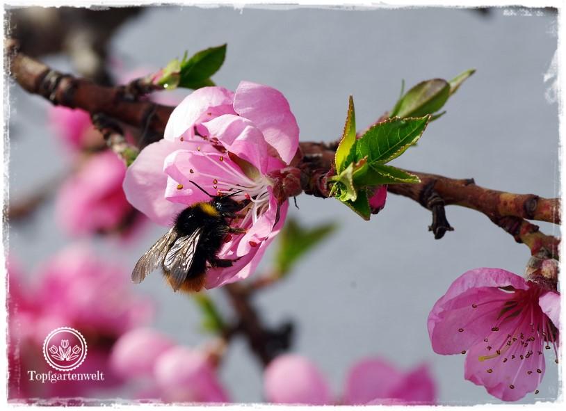 Gartenblog Topfgartenwelt Obstbaumblüte Frühlingsgarten: Zwergnektarine mit Hummel