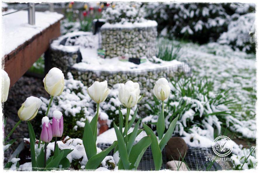 Gartenblog Topfgartenwelt Wintereinbruch im April: Blick auf den Miniteich mit verschneiten Tulpen