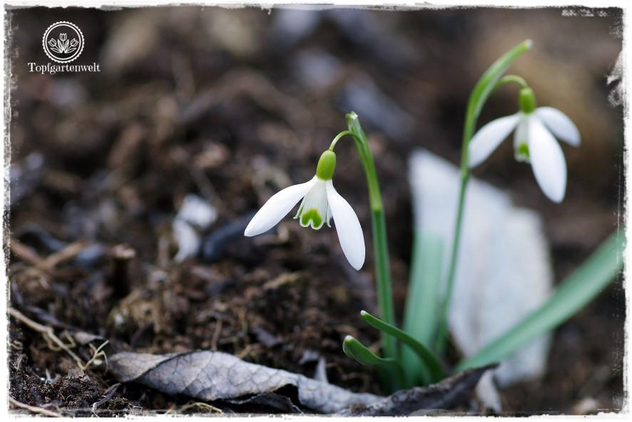 Gartenblog Topfgartenwelt Frühling Frühlingsgarten: Schneeglöckchen Galanthus Nivalis, Gartenmesse Garten Stuttgart