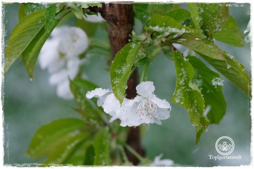 Gartenblog Topfgartenwelt Wetter: Auch Kirschen sind vor Spätfrost nicht gefeit.