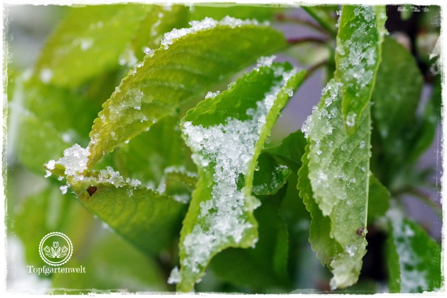Gartenblog Topfgartenwelt Wetter: Nicht nur Spätfrost, sondern auch batziger Schnee macht den Obstbäumen im April 2017 zu schaffen.