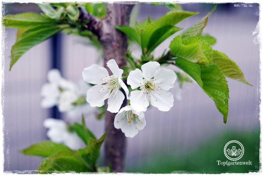 Gartenblog Topfgartenwelt Topfgarten: Sollte man lieber eine Zwergkirsche oder eine Säulenkirsche pflanzen?