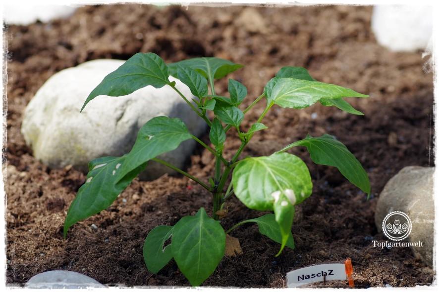 Gartenblog Topfgartenwelt Mein Frühlingsgarten: Paprika im überdachten Hochbeet
