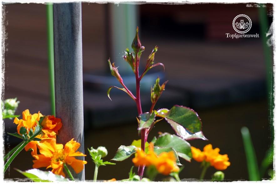 Gartenblog Topfgartenwelt Mein Frühlingsgarten: Rosenknospen der Sorte Jazz von Tantau kombiniert mit Geum Nelkenwurz Prinses Juliana