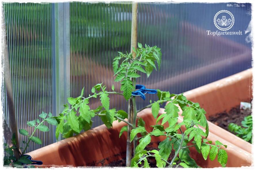 Gartenblog Topfgartenwelt Mein Frühlingsgarten: Tomate