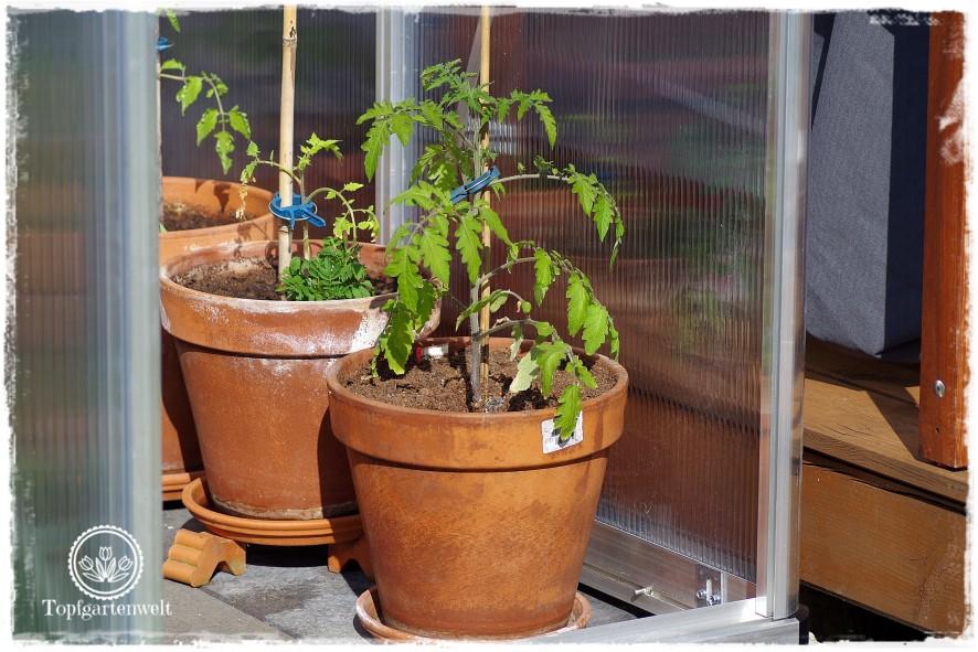 Gartenblog Topfgartenwelt Mein Frühlingsgarten: Tomaten im Gewächshaus