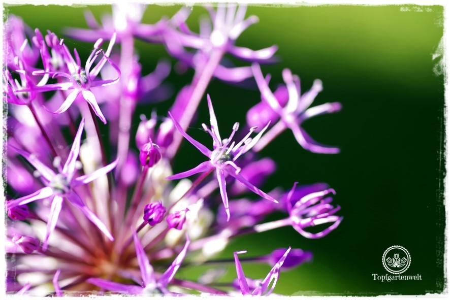 Gartenblog Topfgartenwelt Mein Frühlingsgarten: Zierlauch leuchtet in der Sonne, Nahaufnahme