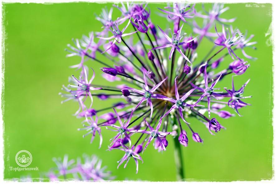 Gartenblog Topfgartenwelt Mein Frühlingsgarten: Zierlauch ein Star im Garten