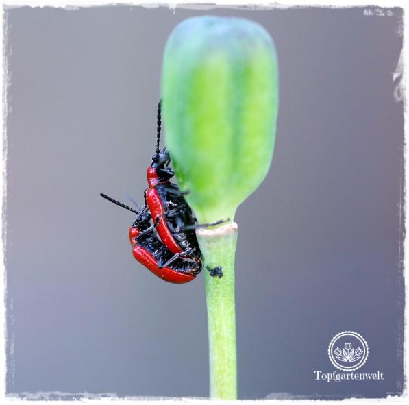 Gartenblog Topfgartenwelt Unkrautvlies im Test: Lilienhähnchen in eindeutiger Position