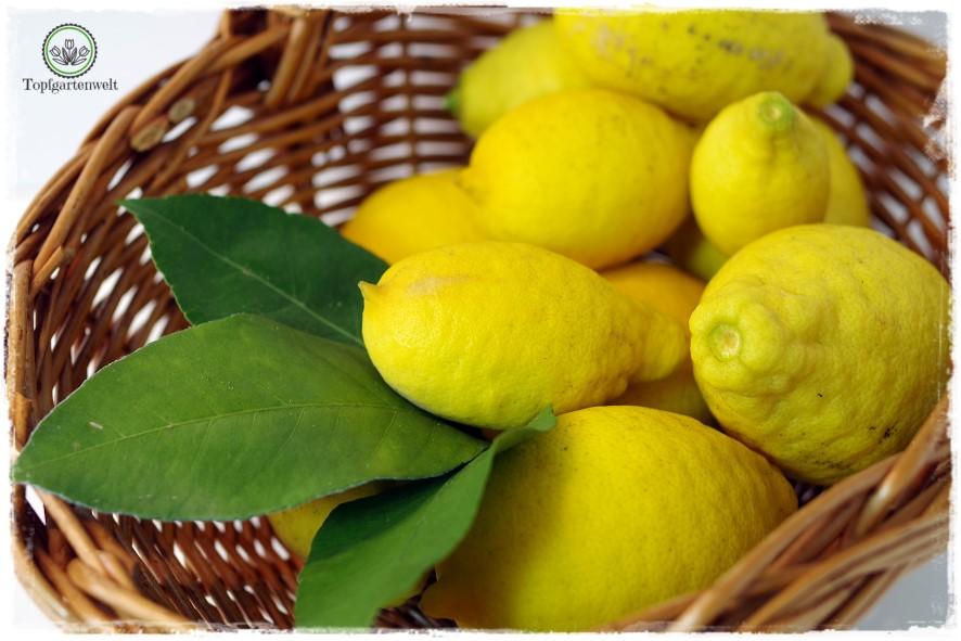 Gartenblog Topfgartenwelt Rezept: Zitronengelee-Zitronensirup - eine reiche Zitronenernte