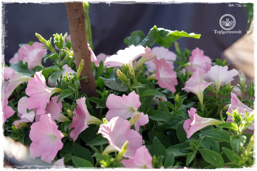 Gartenblog Topfgartenwelt: Gartenguide - Welcher Gartentyp bin ich eigentlich, Surfinien