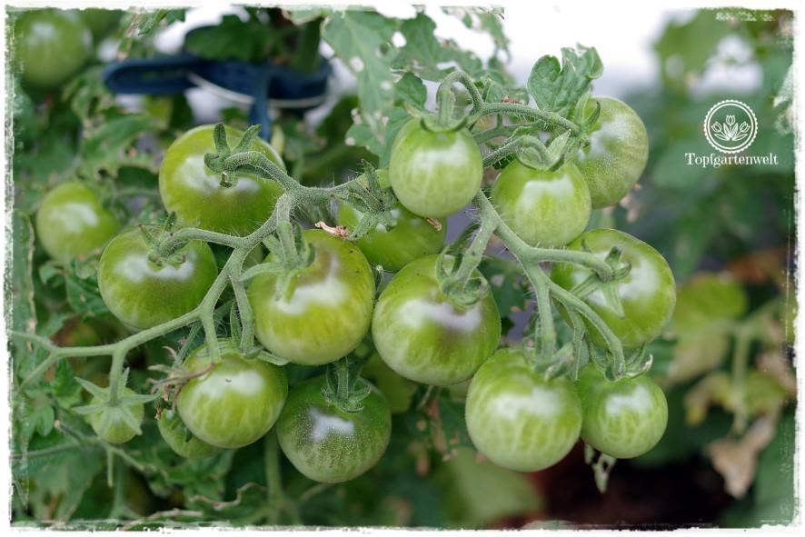 Gartenblog Topfgartenwelt Dehner: selbstgezogene Zwergtomaten