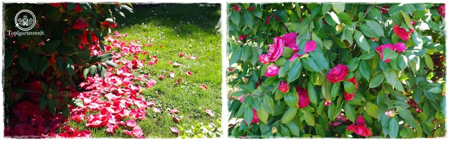 Gartenblog Topfgartenwelt Kroatien: Kamelien im Park der Villa Angiolina