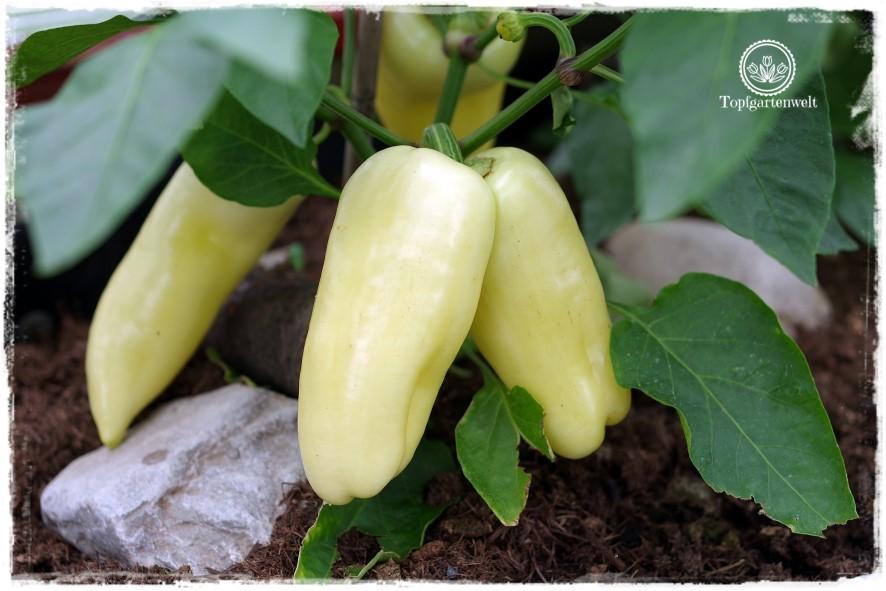 Gartenblog Topfgartenwelt Buchvorstellung Biogärten gestalten: Paprika im überdachten Hochbeet