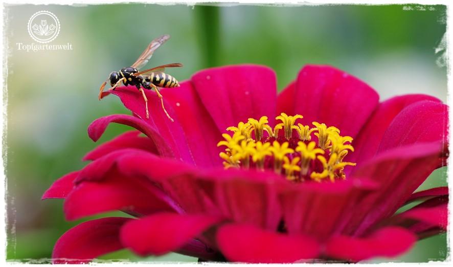 Gartenblog Topfgartenwelt Buchvorstellung Biogärten gestalten: Zinnie mit Wespe