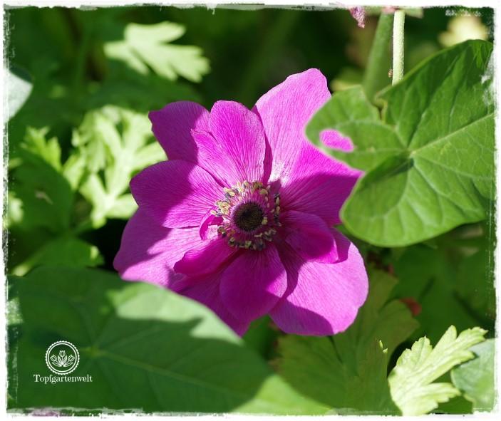 Gartenblog Topfgartenwelt Buchrezension: Knallbunte Beete, Anemone