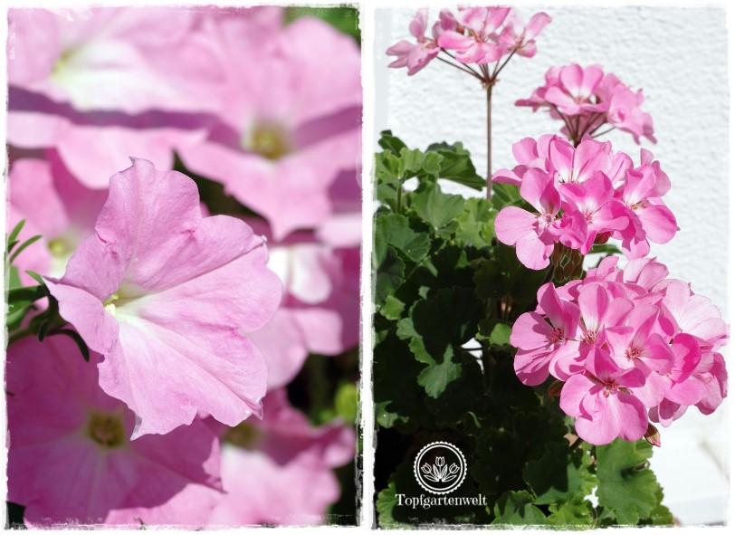 Gartenblog Topfgartenwelt Buchrezension: Knallbunte Beete, Surfinien und Pelargonien