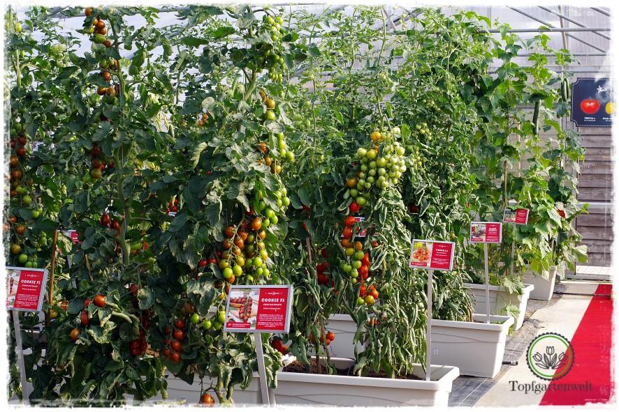 Gartenblog Topfgartenwelt The Grand Paradeis Show: ein professionelles Gewächshaus nur für Tomaten
