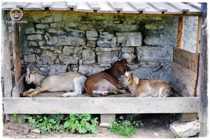 Gartenblog Topfgartenwelt Salzburg Almhütten: Ziegen im Stall bei der historischen Postalmhütte