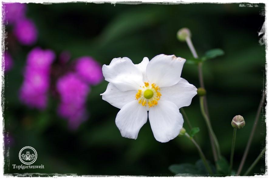 Gartenblog Topfgartenwelt Buchvorstellung Das 5-Pflanzen Prinzip - Genial einfach gestalten: Herbstanemone vor Phlox