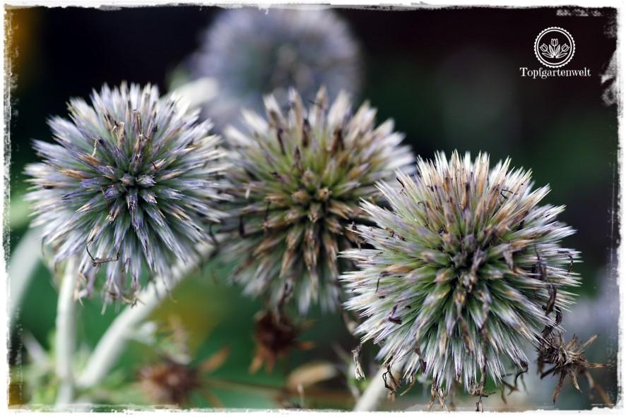 Gartenblog Topfgartenwelt Buchvorstellung Das 5-Pflanzen Prinzip - Genial einfach gestalten: Kugeldistel