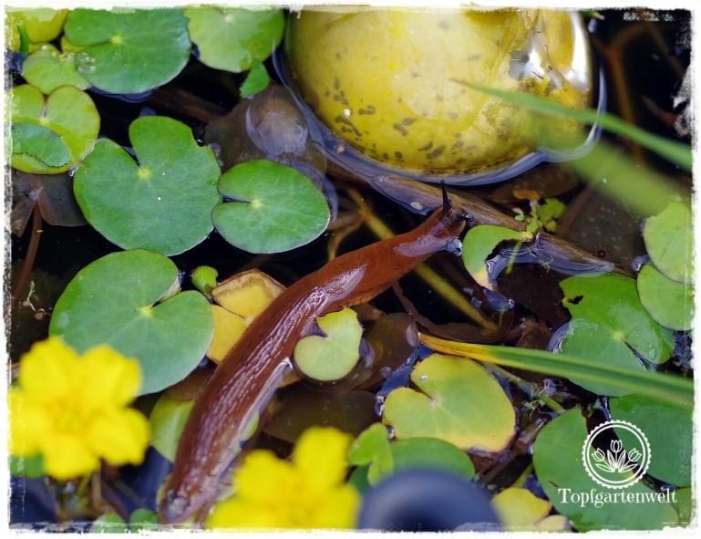 Gartenblog Topfgartenwelt Schädlinge rote Nacktschnecken: schwimmen sogar durch den Gartenteich