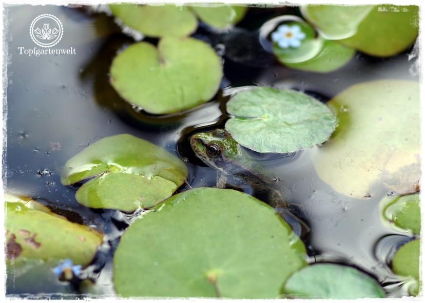 Gartenblog Topfgartenwelt Schädlinge rote Nacktschnecken: ob der Teichfrosch über die schleimigen Biester erfreut ist?