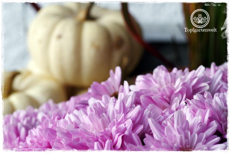 Gartenblog Topfgartenwelt Kooperationen: altrosa Chrysantheme und Baby Boo-Kürbisse perfekt für den Herbst