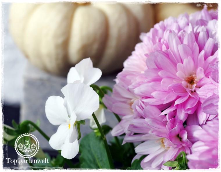 Gartenblog Topfgartenwelt Kooperationen: herbstlich gestalteter Eingangsbereich mit Chrysanthemen, Hornveilchen und Baby Boo-Kürbis